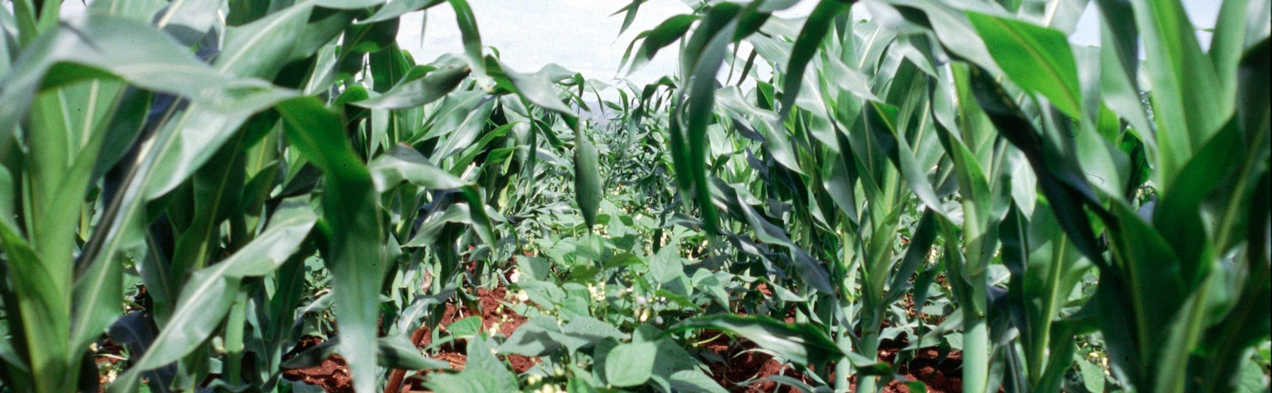 Maize-Bean intercrop