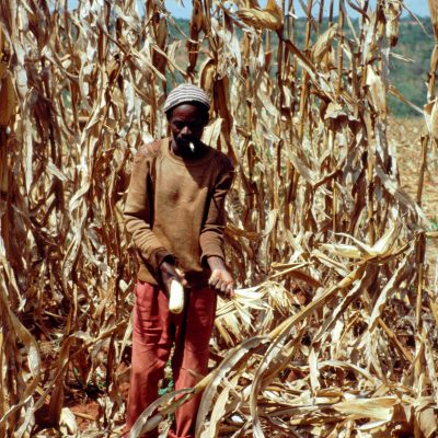 harvesting maize by hand