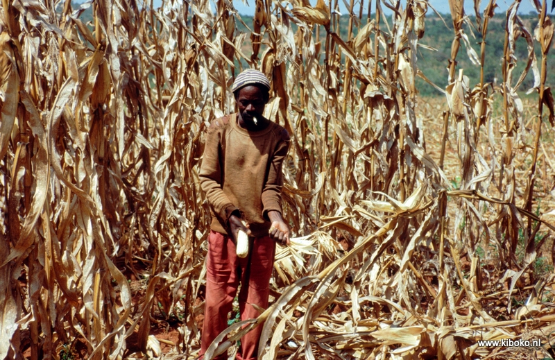 harvest maize