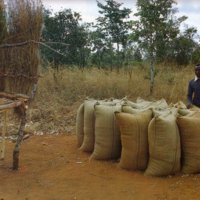 Maize harvested in bags Songea, Tanzania