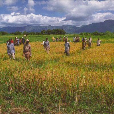 Rice trial Magugu Tanzania