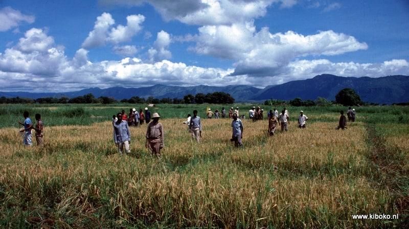 magugu rice trial