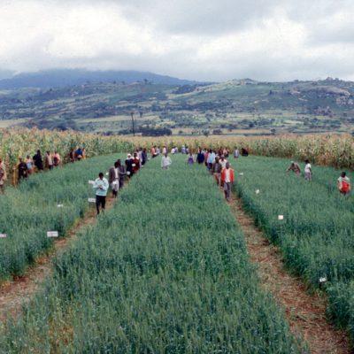 Wheat trial Katesh Tanzania